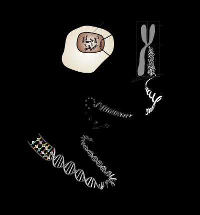 Les chromosomes sont tous fait de la même manière : de l'ADN enroulé sur lui même, et condensé, à l'aide de certaines protéines...