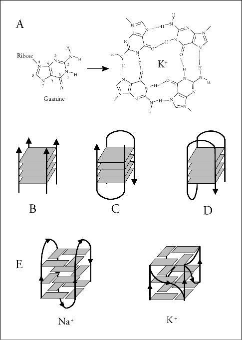 """On voit ici la formation des G-quadruplexes : ces structures peuvent se former à partir de 4 brins (B), 2 brins (C et D), ou un seul (E). Un ion occupe la partie centrale du """"plateau"""" (source)"""
