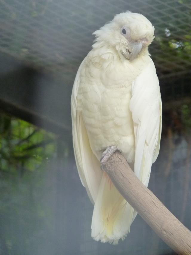 Un cacatoès blanc, dans sa cage. Classique
