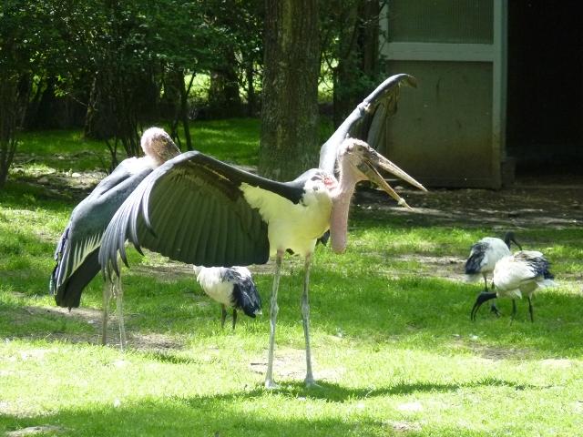 Le marabout se dore au soleil, ses immenses ailes noires grandes déployées