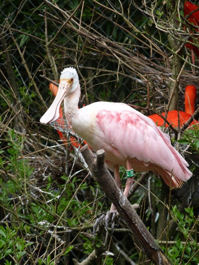 Le spatule rose. On dirait presque qu'il est dans son habitat naturel. C'est un ibis rouge juste derrière.