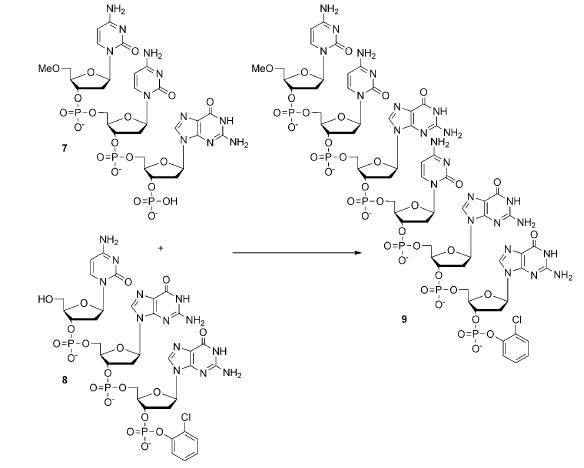 """Deux tri-nucléosides de séquences déterminées (ici """"CCG"""" et """"CGG"""") se couplent pour donner une molécule formée par 6 nucléosides, dont la séquence est conservée dans le processus (CCGCGG)"""