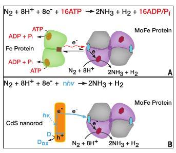 """En haut, le fonctionnement """"normal"""" de la nitrogénase, avec une première sous-unité 'Fe Protein' qui capte et transfère l'énergie, et la seconde 'MoFe Protein' qui transforme le diazote. En bas, la première unité est remplacée par une nanostructure de CdS (source)"""