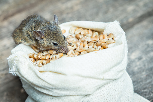 Exemple de souris n'ayant pas de restriction alimentaire...